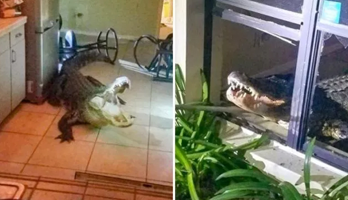 Huge Alligator Smashed Window To Get Into Woman's House 'Then Drank Her Wine'